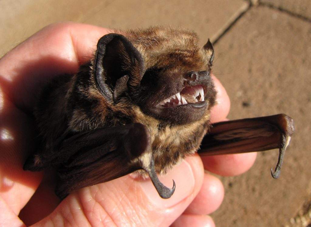 Hawaiian Wildlife Bat
