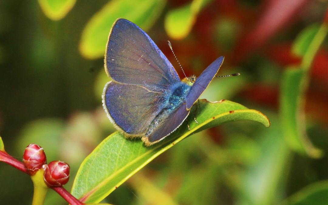 Hawaiian Wildlife - Butterfly