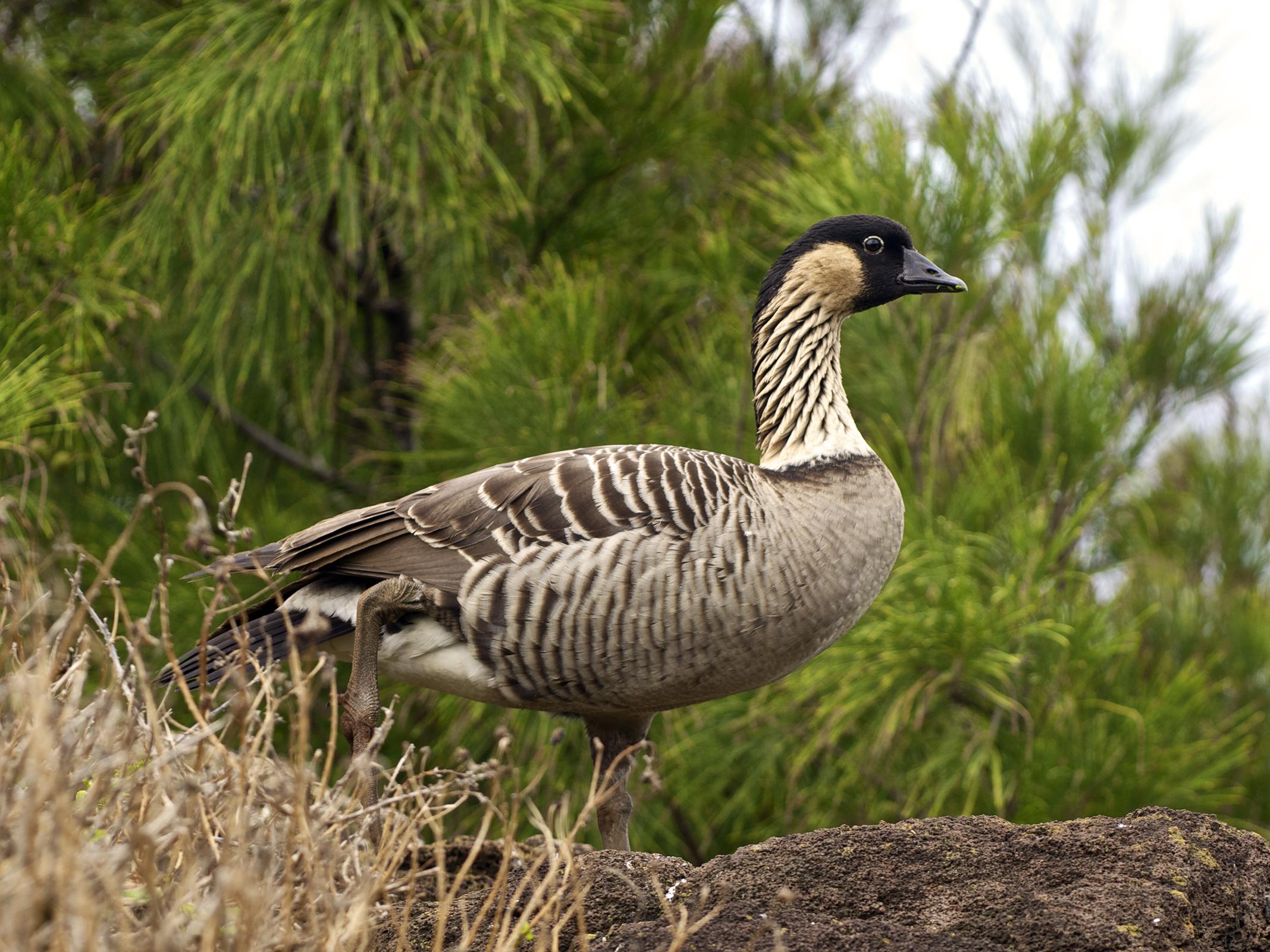 Hawaiian Wildlife - Goose