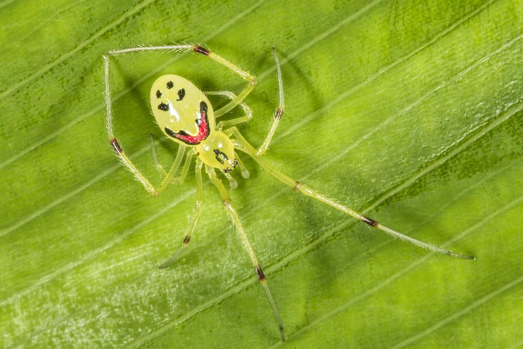 Hawaiian Wildlife - Happy Faced Spider